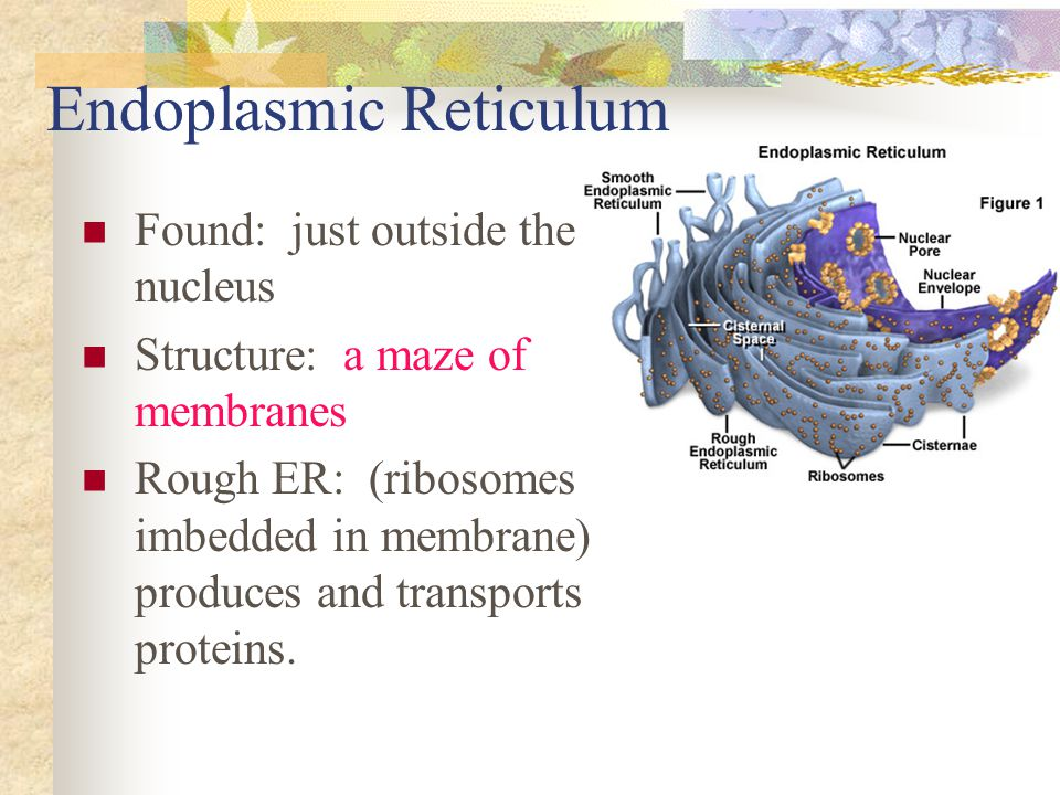 Endoplasmic Reticulum Found: just outside the nucleus Structure: a maze of membranes Rough ER: (ribosomes imbedded in membrane) produces and transport