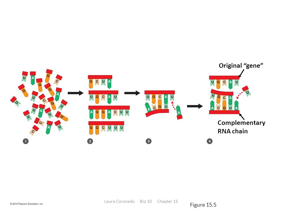 """Original """"gene"""" Complementary RNA chain Figure 15.5 Laura Coronado Bio 10 Chapter 15"""