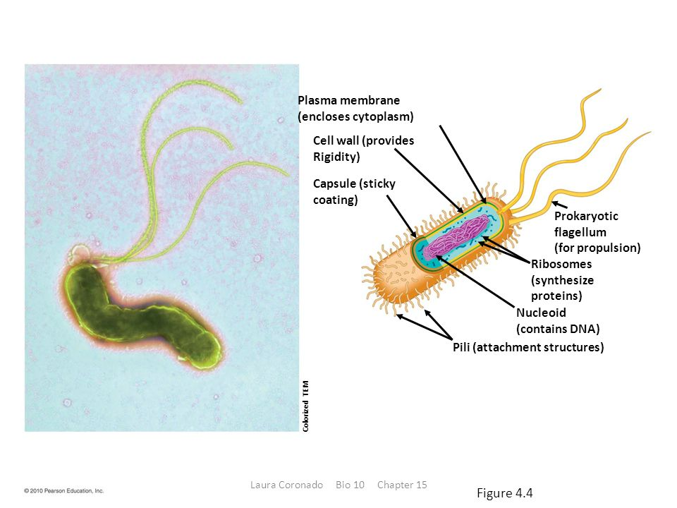 Plasma membrane (encloses cytoplasm) Cell wall (provides Rigidity) Capsule (sticky coating) Prokaryotic flagellum (for propulsion) Ribosomes (synthesize proteins) Nucleoid (contains DNA) Pili (attachment structures) Colorized TEM Figure 4.4 Laura Coronado Bio 10 Chapter 15
