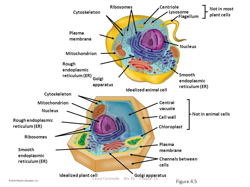 Cytoskeleton RibosomesCentriole Lysosome Flagellum Nucleus Plasma membrane Mitochondrion Rough endoplasmic reticulum (ER) Golgi apparatus Smooth endoplasmic reticulum (ER) Idealized animal cell Idealized plant cell Cytoskeleton Mitochondrion Nucleus Rough endoplasmic reticulum (ER) Ribosomes Smooth endoplasmic reticulum (ER) Golgi apparatus Plasma membrane Channels between cells Not in most plant cells Central vacuole Cell wall Chloroplast Not in animal cells Figure 4.5 Laura Coronado Bio 10 Chapter 15