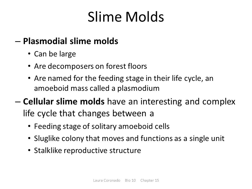 Slime Molds – Plasmodial slime molds Can be large Are decomposers on forest floors Are named for the feeding stage in their life cycle, an amoeboid mass called a plasmodium – Cellular slime molds have an interesting and complex life cycle that changes between a Feeding stage of solitary amoeboid cells Sluglike colony that moves and functions as a single unit Stalklike reproductive structure Laura Coronado Bio 10 Chapter 15