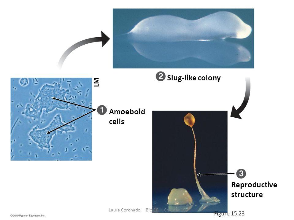LM Amoeboid cells Slug-like colony Reproductive structure Figure 15.23 Laura Coronado Bio 10 Chapter 15