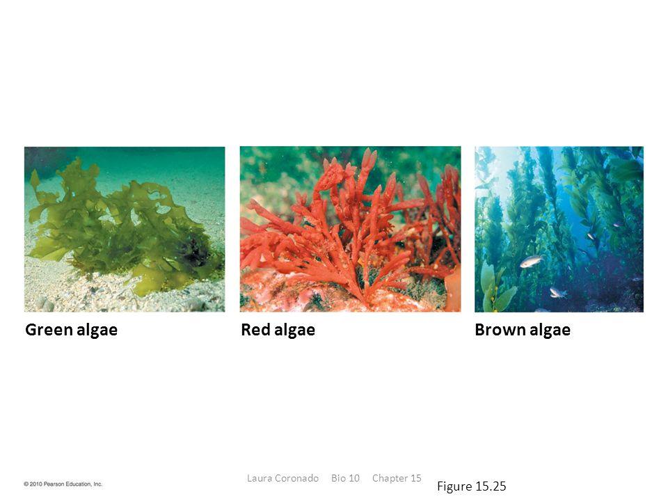 Green algaeRed algaeBrown algae Figure 15.25 Laura Coronado Bio 10 Chapter 15