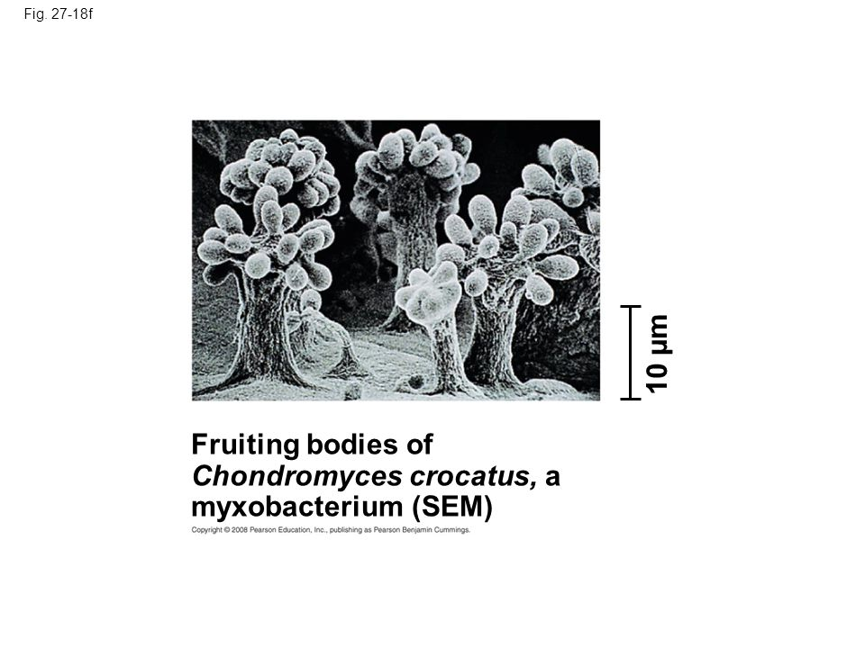 Fig. 27-18f Fruiting bodies of Chondromyces crocatus, a myxobacterium (SEM) 10 µm