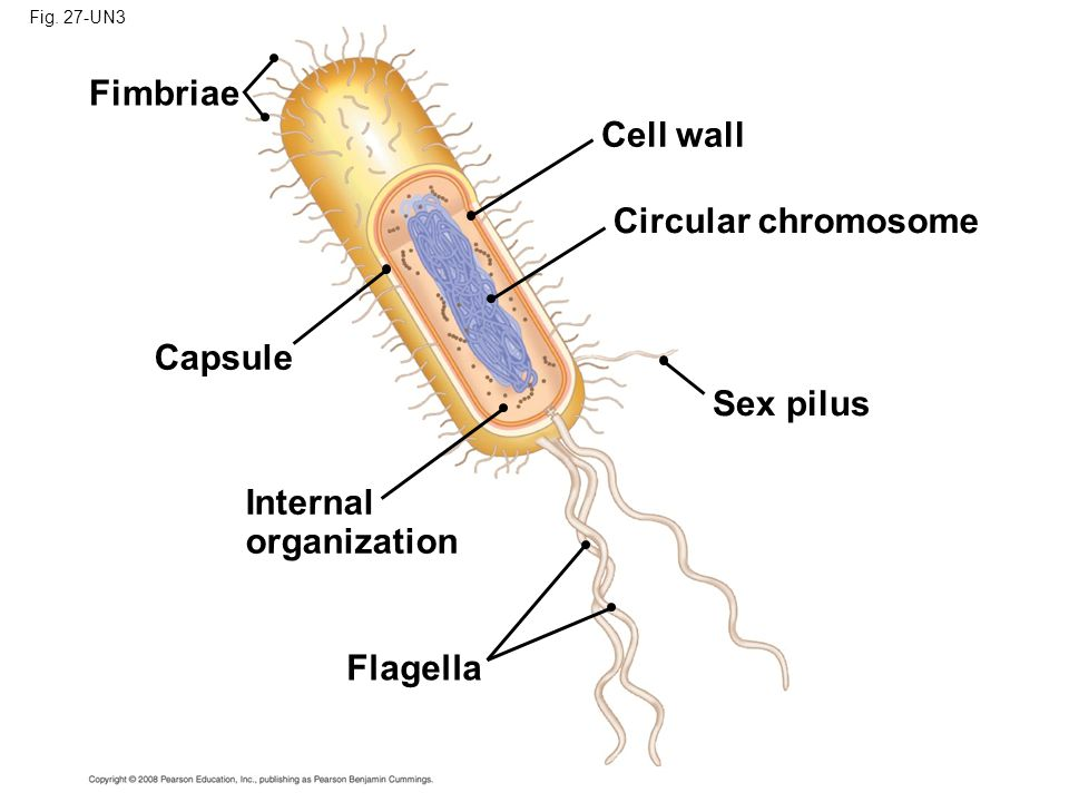 Fig. 27-UN3 Fimbriae Capsule Cell wall Circular chromosome Internal organization Flagella Sex pilus