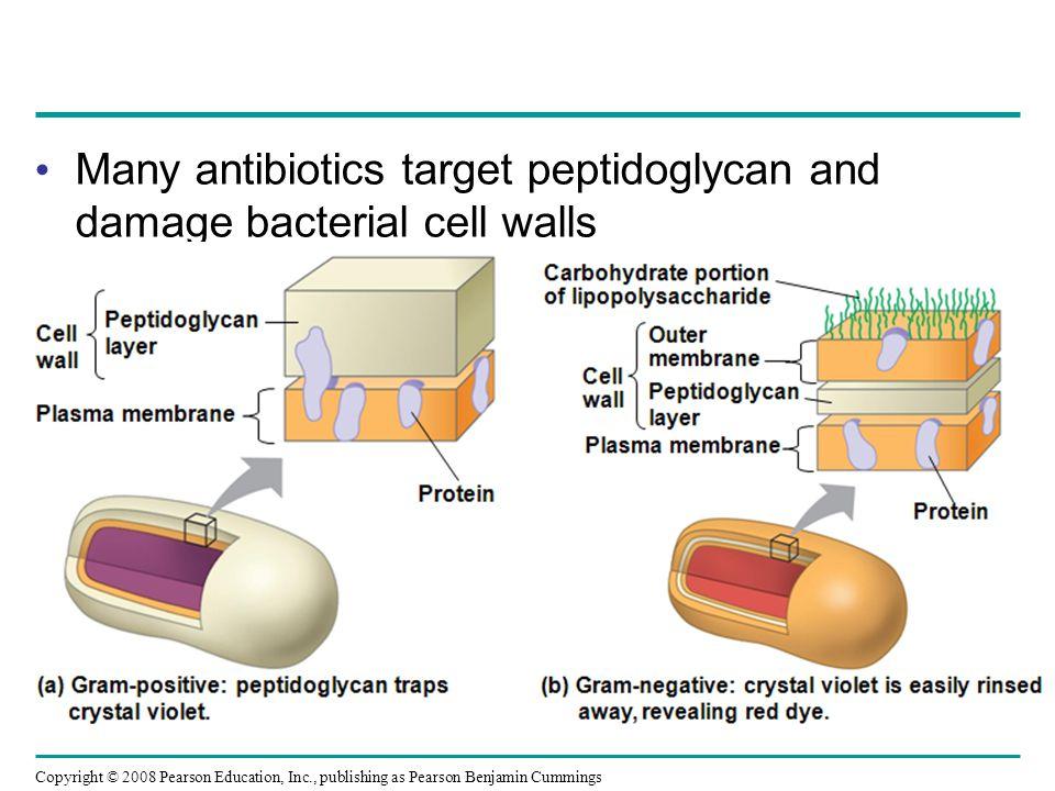 Copyright © 2008 Pearson Education, Inc., publishing as Pearson Benjamin Cummings Subgroup: Beta Proteobacteria Example: the soil bacterium Nitrosomonas, which converts NH 4 + to NO 2 –