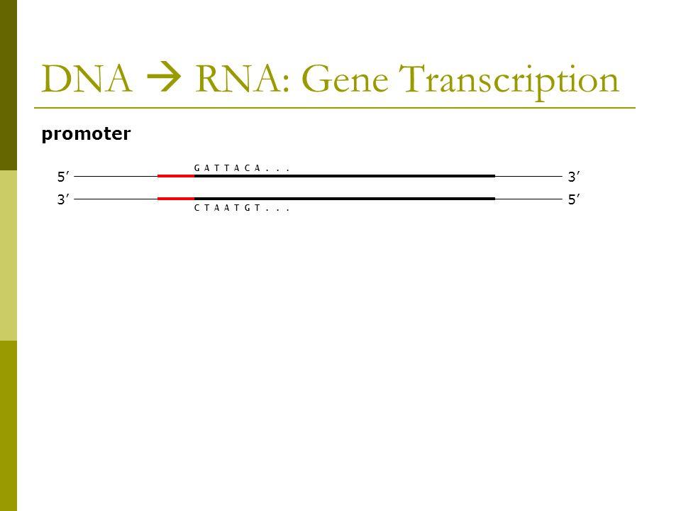 DNA  RNA: Gene Transcription promoter 3' 5' 3' G A T T A C A... C T A A T G T...
