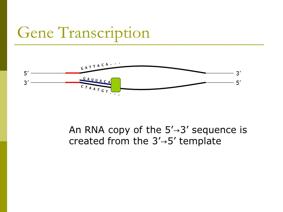 Gene Transcription 3' 5' 3' An RNA copy of the 5' → 3' sequence is created from the 3' → 5' template G A T T A C A...