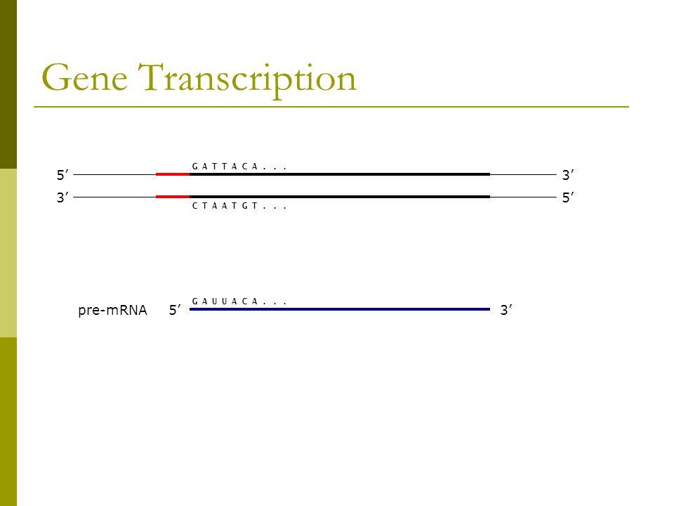 Gene Transcription 3' 5' 3' G A U U A C A... G A T T A C A... C T A A T G T... pre-mRNA5'3'