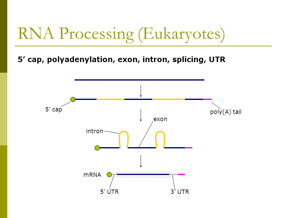 RNA Processing (Eukaryotes) 5' cap, polyadenylation, exon, intron, splicing, UTR 5' cap poly(A) tail intron exon mRNA 5' UTR3' UTR