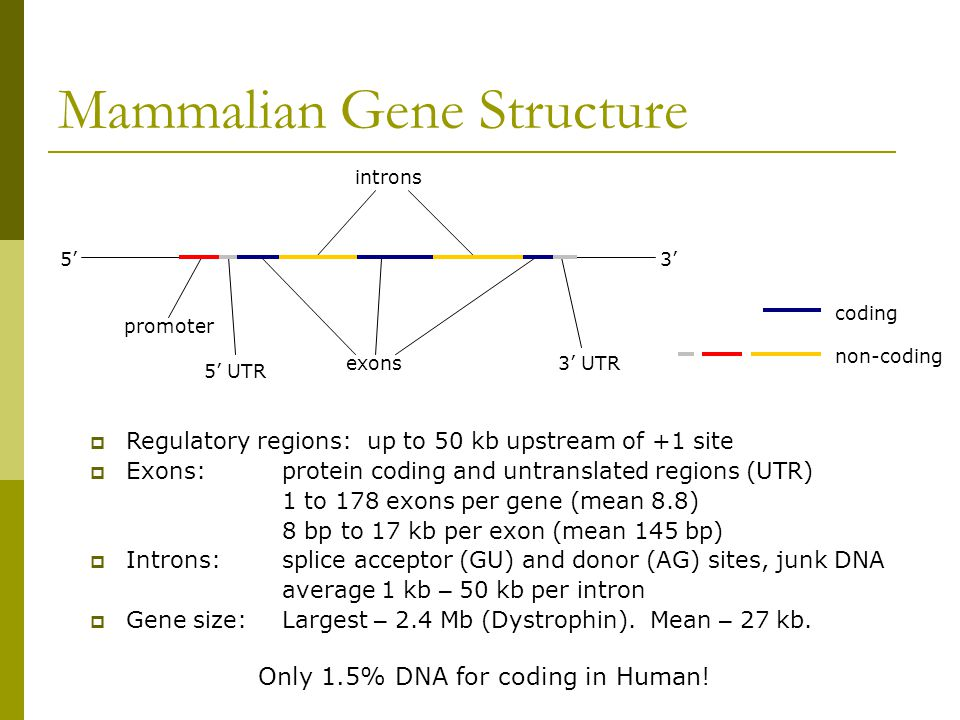 Mammalian Gene Structure 5'3' promoter 5' UTR exons3' UTR introns coding non-coding Only 1.5% DNA for coding in Human.