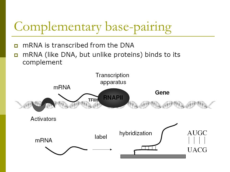 Complementary base-pairing  mRNA is transcribed from the DNA  mRNA (like DNA, but unlike proteins) binds to its complement