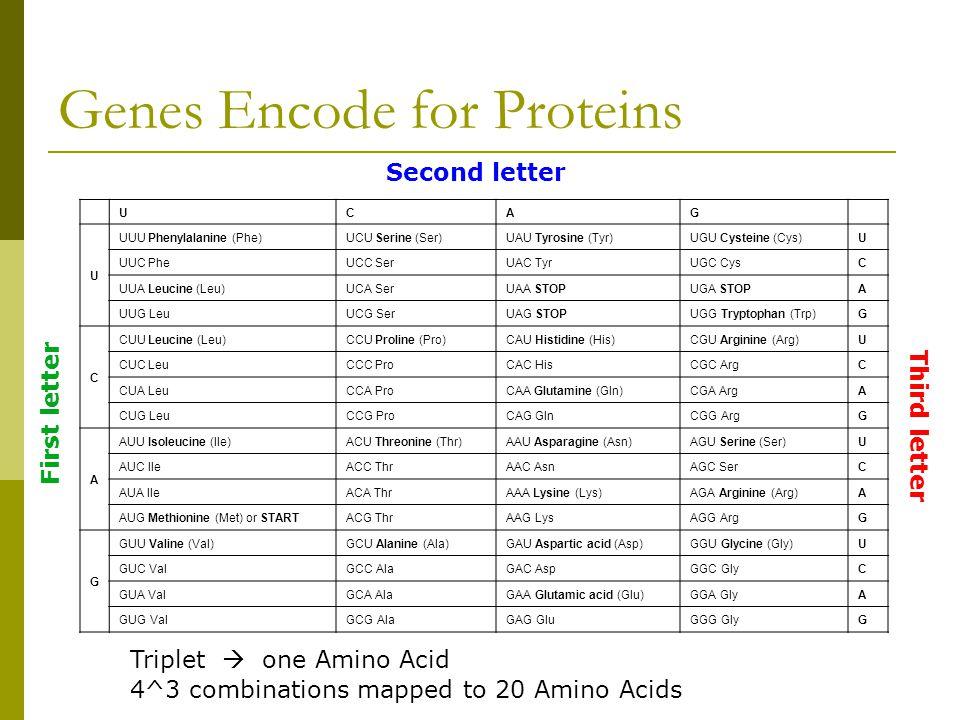 Genes Encode for Proteins UCAG U UUU Phenylalanine (Phe)UCU Serine (Ser)UAU Tyrosine (Tyr)UGU Cysteine (Cys)U UUC PheUCC SerUAC TyrUGC CysC UUA Leucine (Leu)UCA SerUAA STOPUGA STOPA UUG LeuUCG SerUAG STOPUGG Tryptophan (Trp)G C CUU Leucine (Leu)CCU Proline (Pro)CAU Histidine (His)CGU Arginine (Arg)U CUC LeuCCC ProCAC HisCGC ArgC CUA LeuCCA ProCAA Glutamine (Gln)CGA ArgA CUG LeuCCG ProCAG GlnCGG ArgG A AUU Isoleucine (Ile)ACU Threonine (Thr)AAU Asparagine (Asn)AGU Serine (Ser)U AUC IleACC ThrAAC AsnAGC SerC AUA IleACA ThrAAA Lysine (Lys)AGA Arginine (Arg)A AUG Methionine (Met) or STARTACG ThrAAG LysAGG ArgG G GUU Valine (Val)GCU Alanine (Ala)GAU Aspartic acid (Asp)GGU Glycine (Gly)U GUC ValGCC AlaGAC AspGGC GlyC GUA ValGCA AlaGAA Glutamic acid (Glu)GGA GlyA GUG ValGCG AlaGAG GluGGG GlyG Second letter First letter Third letter Triplet  one Amino Acid 4^3 combinations mapped to 20 Amino Acids