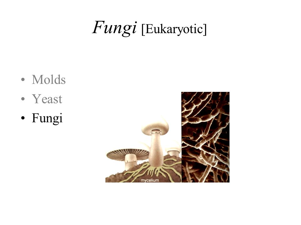 Molds Yeast Fungi Fungi [Eukaryotic]