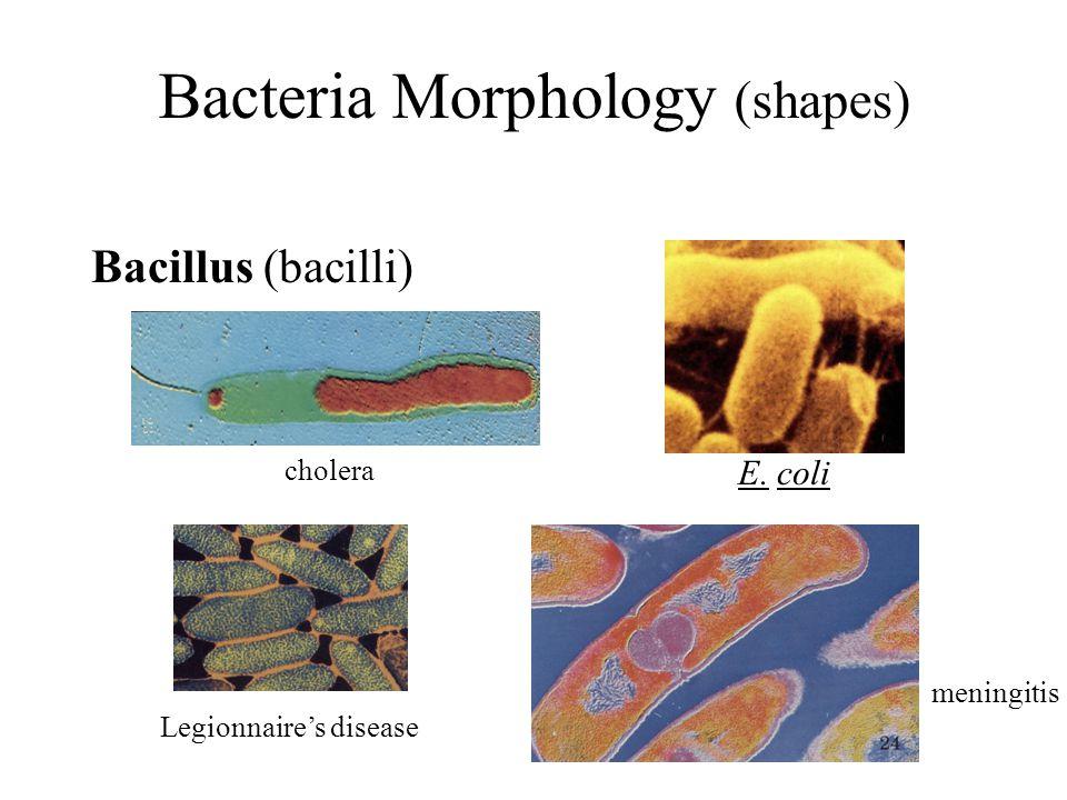 Bacteria Morphology (shapes) Bacillus (bacilli) E. coli cholera Legionnaire's disease meningitis