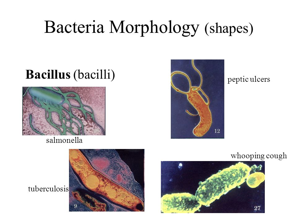 Bacteria Morphology (shapes) Bacillus (bacilli) salmonella peptic ulcers tuberculosis whooping cough