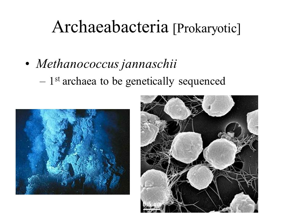 Archaeabacteria [Prokaryotic] Methanococcus jannaschii –1 st archaea to be genetically sequenced