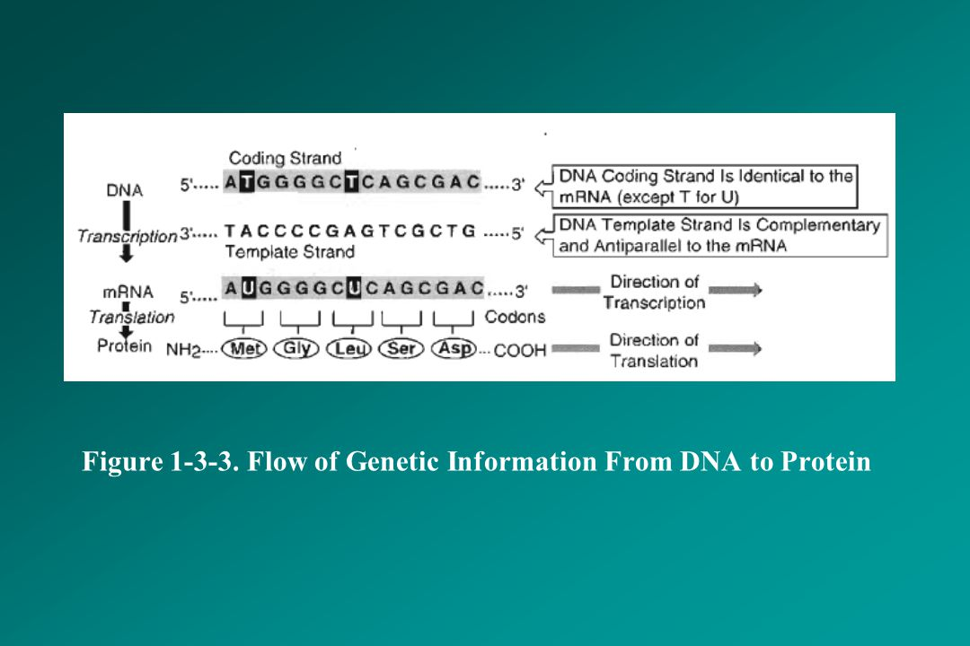 Figure 1-3-3. Flow of Genetic Information From DNA to Protein