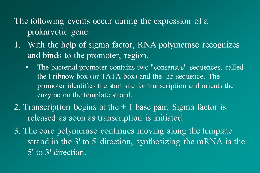 The following events occur during the expression of a prokaryotic gene: 1.With the help of sigma factor, RNA polymerase recognizes and binds to the pr