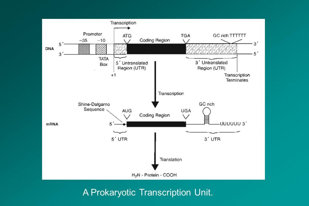 A Prokaryotic Transcription Unit.