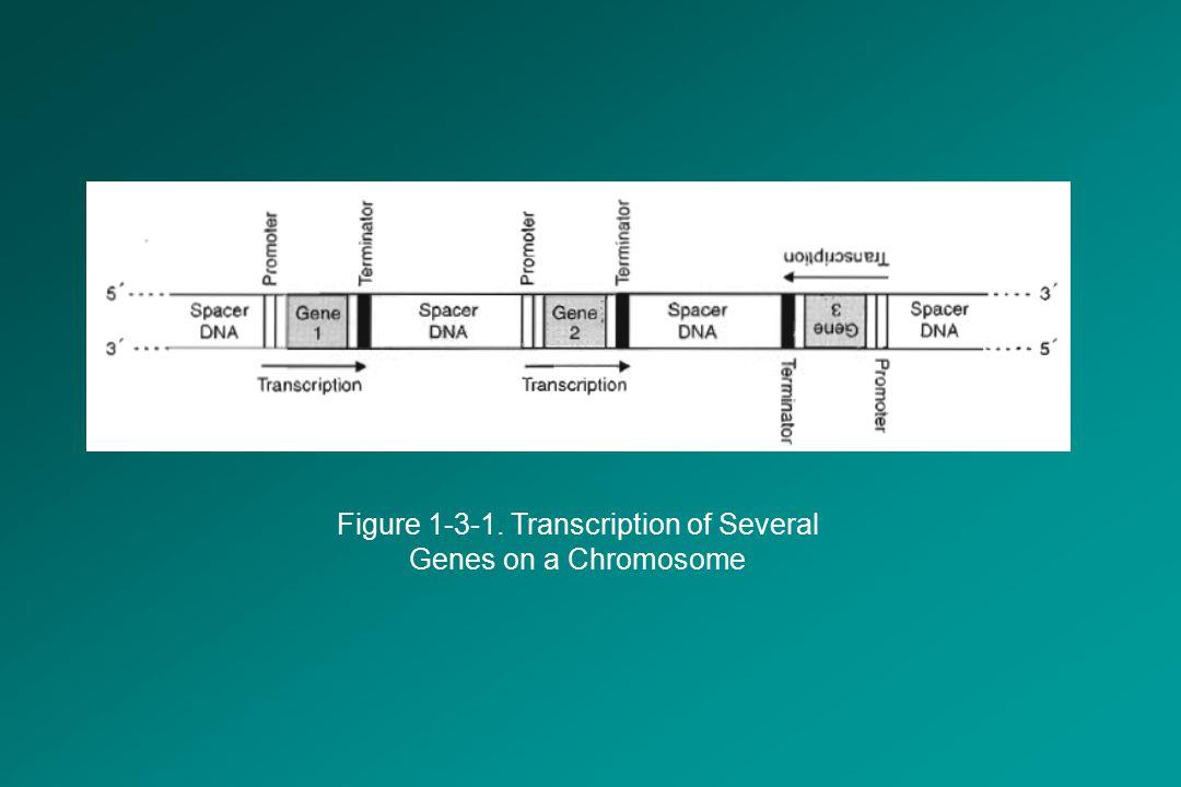 Figure 1-3-1. Transcription of Several Genes on a Chromosome
