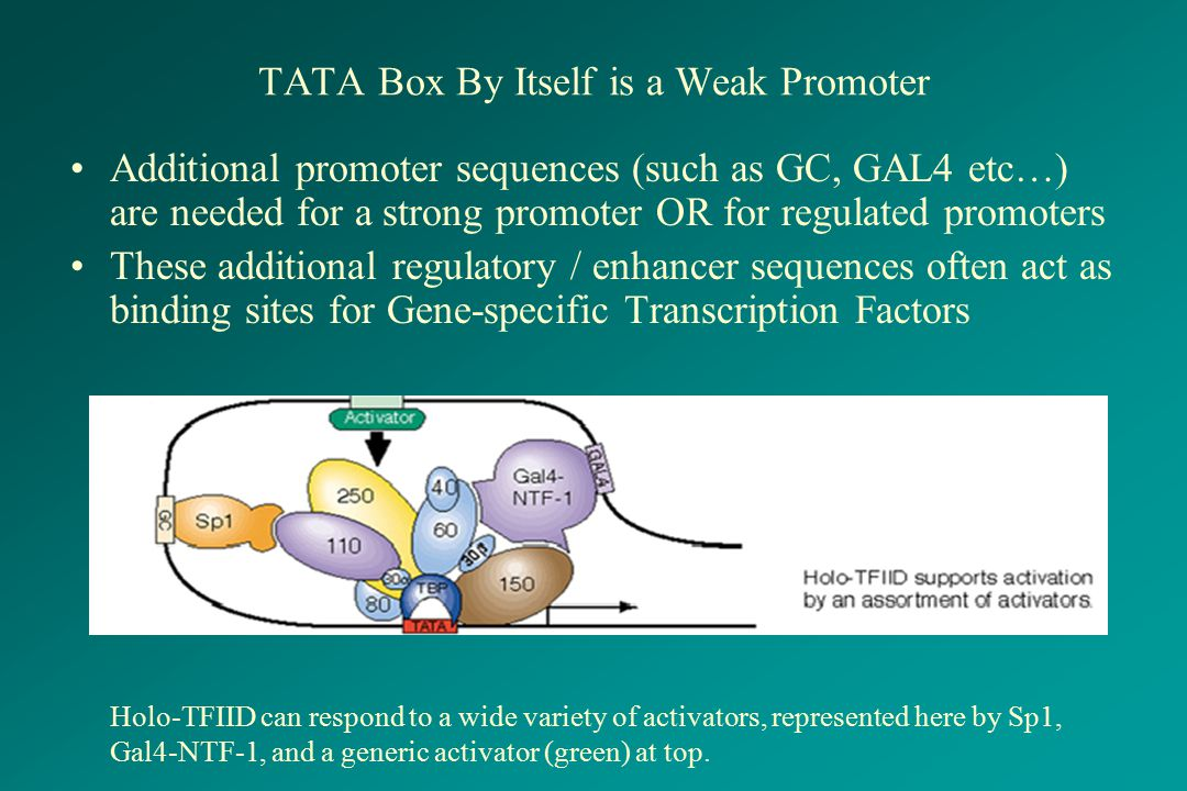 TATA Box By Itself is a Weak Promoter Additional promoter sequences (such as GC, GAL4 etc…) are needed for a strong promoter OR for regulated promoter