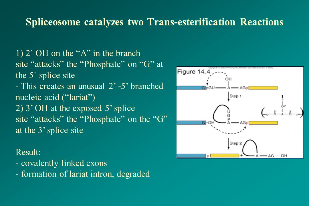 """Spliceosome catalyzes two Trans-esterification Reactions 1) 2` OH on the """"A"""" in the branch site """"attacks"""" the """"Phosphate"""" on """"G"""" at the 5` splice site"""