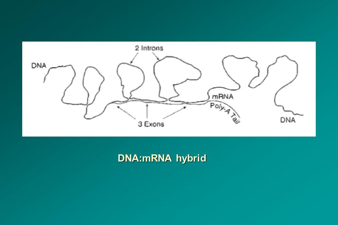 DNA:mRNA hybrid