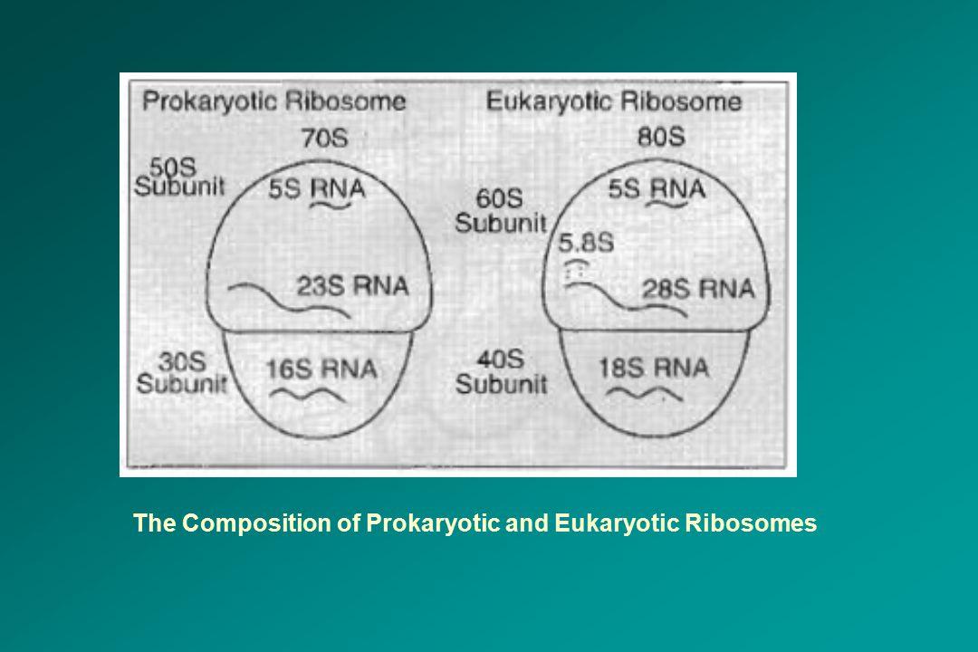 The Composition of Prokaryotic and Eukaryotic Ribosomes