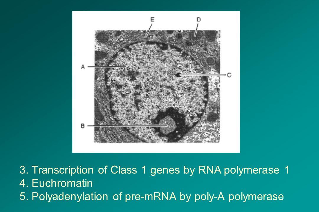 3. Transcription of Class 1 genes by RNA polymerase 1 4. Euchromatin 5. Polyadenylation of pre-mRNA by poly-A polymerase