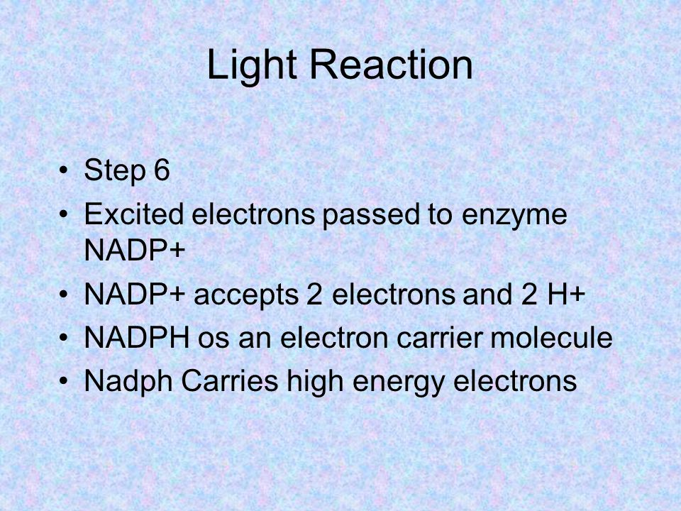 Light Reaction Step 6 Excited electrons passed to enzyme NADP+ NADP+ accepts 2 electrons and 2 H+ NADPH os an electron carrier molecule Nadph Carries high energy electrons