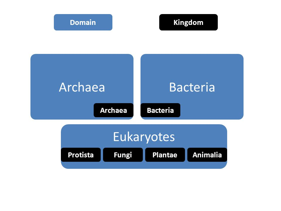 Archaea Bacteria Eukaryotes ProtistaFungiPlantaeAnimalia DomainKingdom
