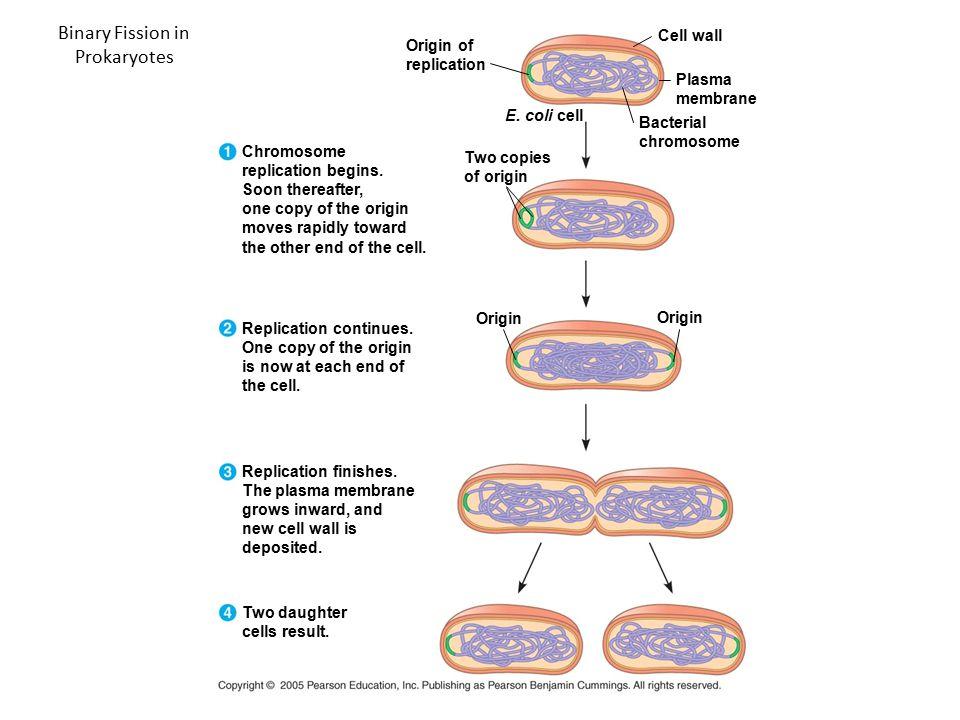 Binary Fission in Prokaryotes Origin of replication Cell wall Plasma membrane Bacterial chromosome E. coli cell Two copies of origin Chromosome replic