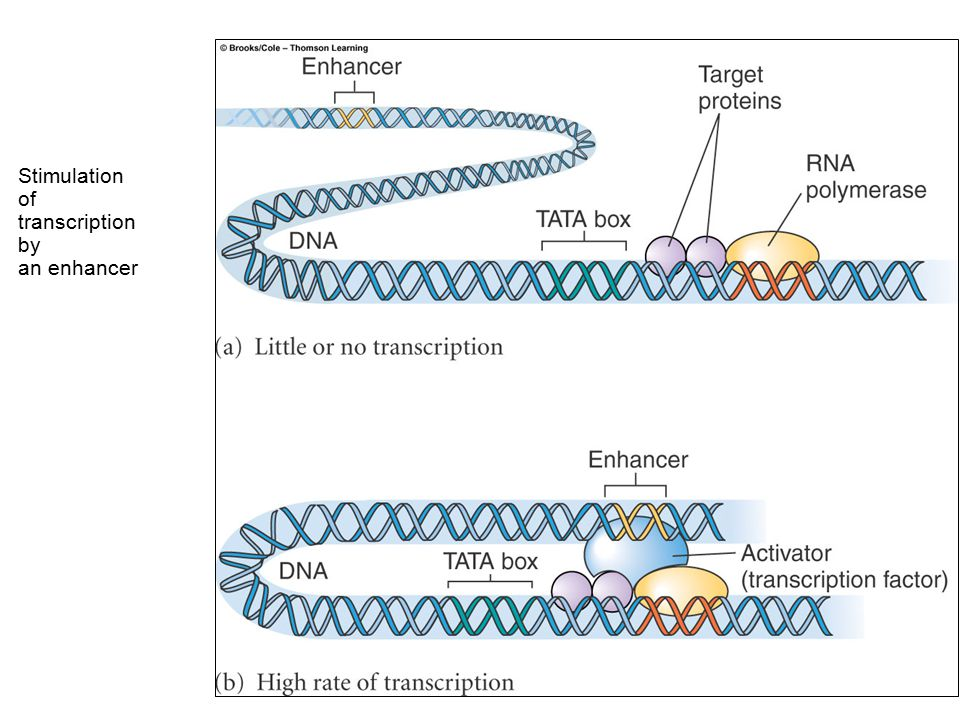 Regulation of transcription in eukaryotes