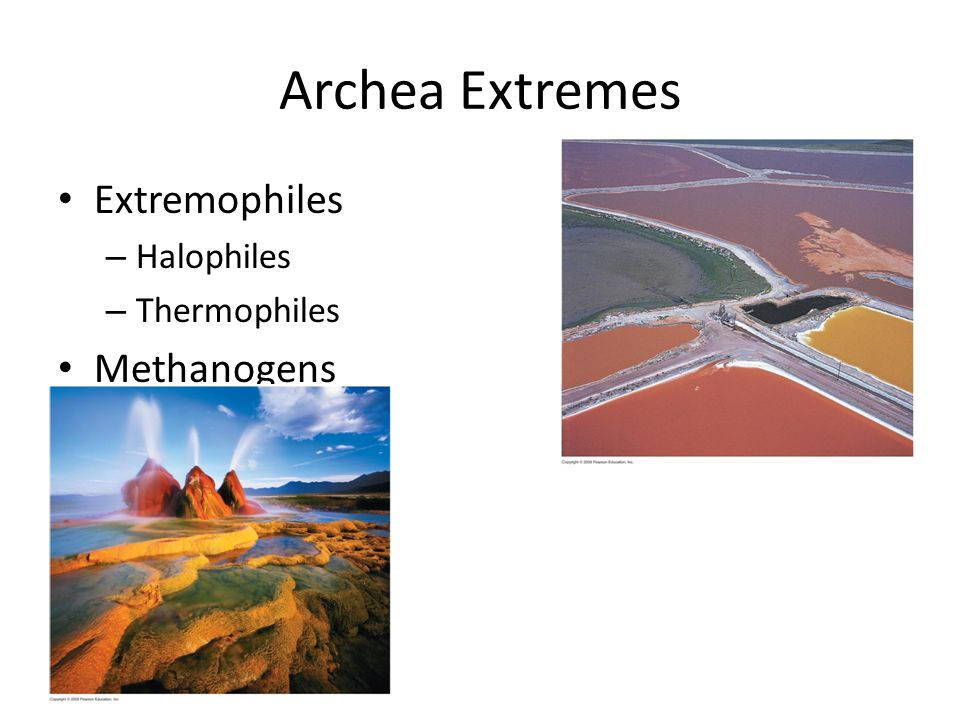 Archea Extremes Extremophiles – Halophiles – Thermophiles Methanogens