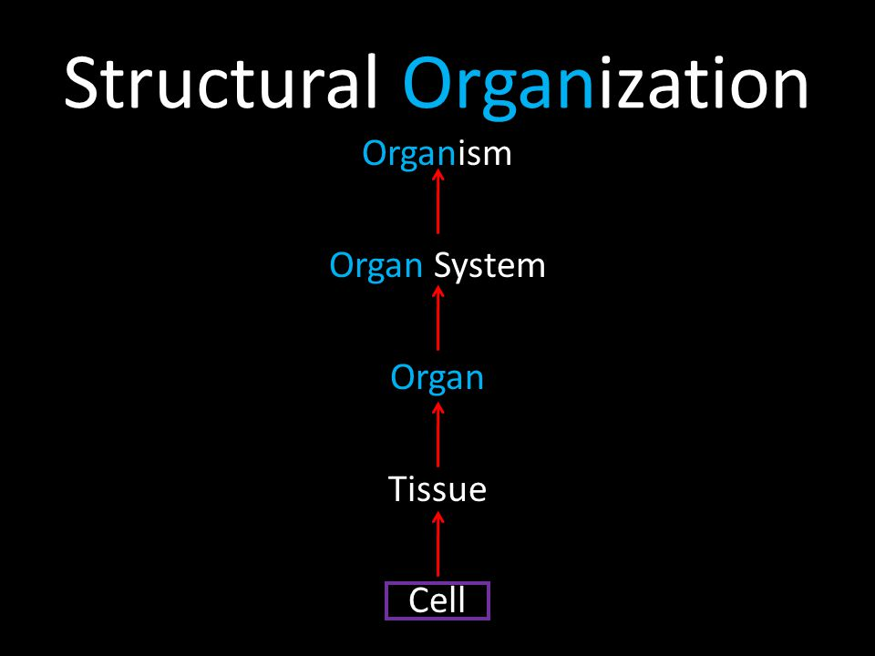 Structural Organization Organism Organ System Organ Tissue Cell