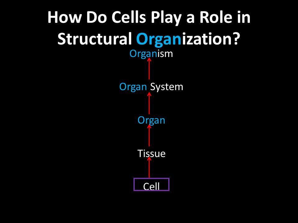 Organism Organ System Organ Tissue Cell