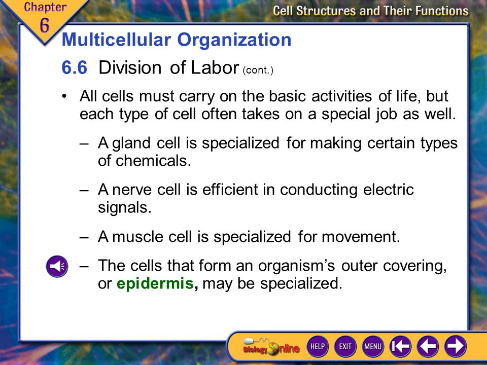 6.6 Division of Labor 1 Organisms must have enough surface area for the living cells within to exchange food, wastes, and other substances with their environment.