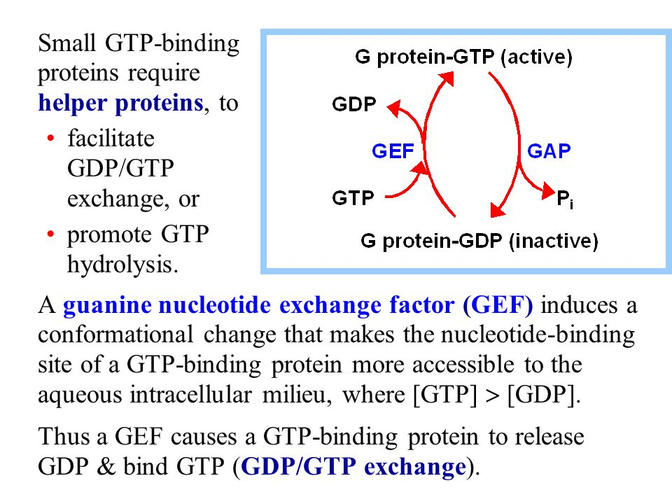 A guanine nucleotide exchange factor (GEF) induces a conformational change that makes the nucleotide-binding site of a GTP-binding protein more accessible to the aqueous intracellular milieu, where [GTP]  [GDP].