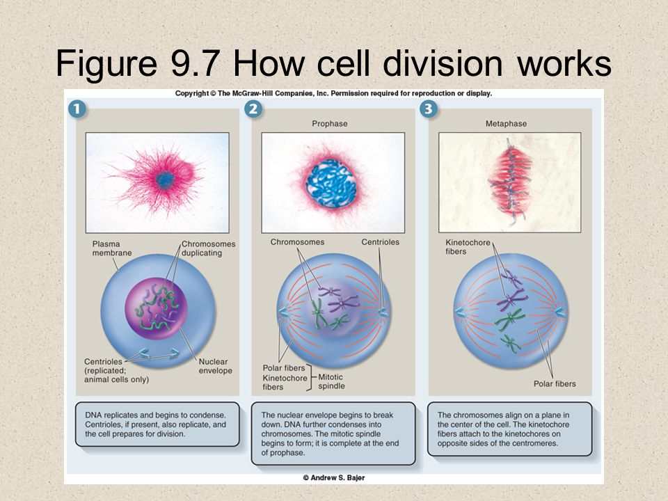 Figure 9.7 How cell division works