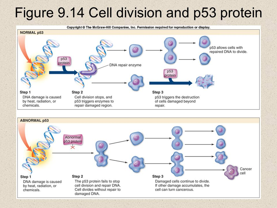 Figure 9.14 Cell division and p53 protein
