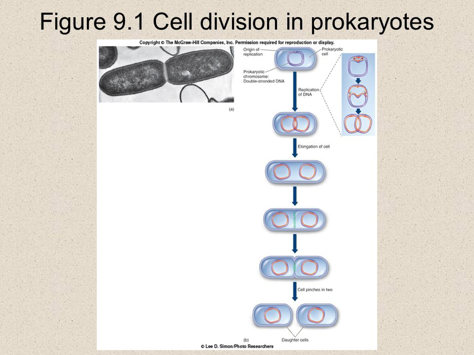 9.4 Cell Division Cytokinesis  occurs at the end of mitosis and is a division of the cytoplasm into roughly equal halves  in animals, cytokinesis occurs by actin filaments contracting and pinching the cell in two this action is evident as a cleavage furrow that appears between the daughter cells  in plants, a new cell wall is laid down to divide the two daughter cells the cell wall grows at right angles to the mitotic spindle and is called the cell plate