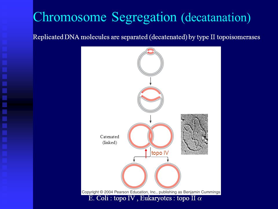 Catenated (linked) Replicated DNA molecules are separated (decatenated) by type II topoisomerases Chromosome Segregation (decatanation) topo IV E.