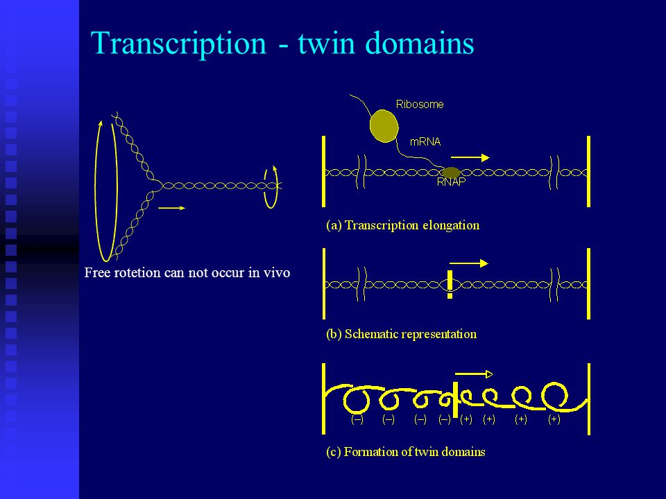 Transcription - twin domains Free rotetion can not occur in vivo