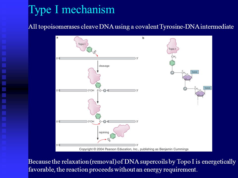 All topoisomerases cleave DNA using a covalent Tyrosine-DNA intermediate Type I mechanism Because the relaxation (removal) of DNA supercoils by Topo I is energetically favorable, the reaction proceeds without an energy requirement.