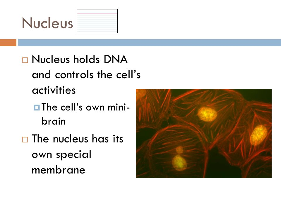 Nucleus  Nucleus holds DNA and controls the cell's activities  The cell's own mini- brain  The nucleus has its own special membrane