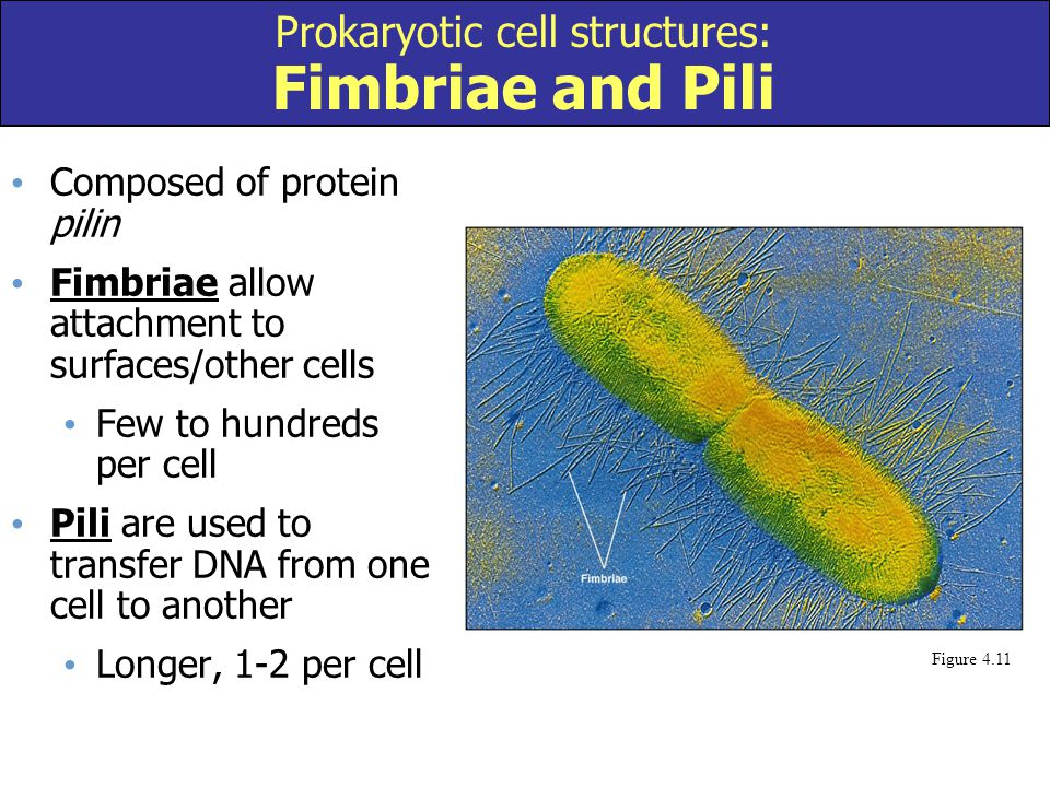 Composed of protein pilin Fimbriae allow attachment to surfaces/other cells Few to hundreds per cell Pili are used to transfer DNA from one cell to an