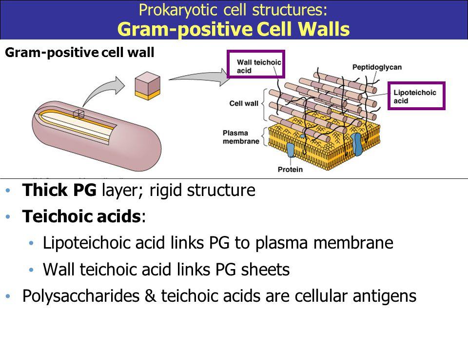 Prokaryotic cell structures: Gram-positive Cell Walls Gram-positive cell wall Thick PG layer; rigid structure Teichoic acids: Lipoteichoic acid links