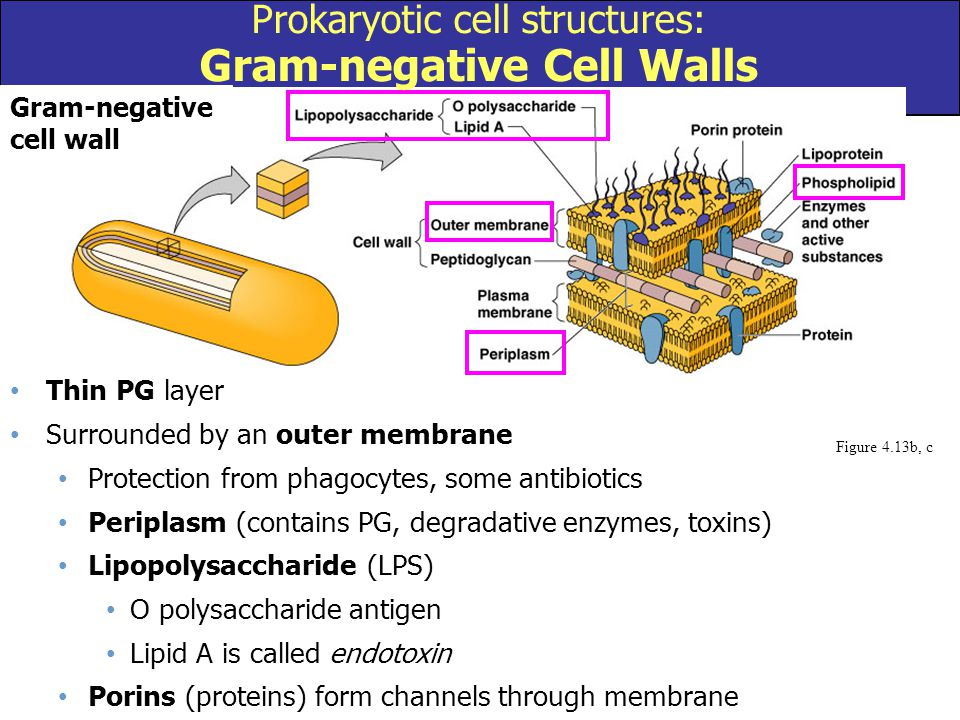 Figure 4.13b, c Gram-negative cell wall Prokaryotic cell structures: Gram-negative Cell Walls Thin PG layer Surrounded by an outer membrane Protection