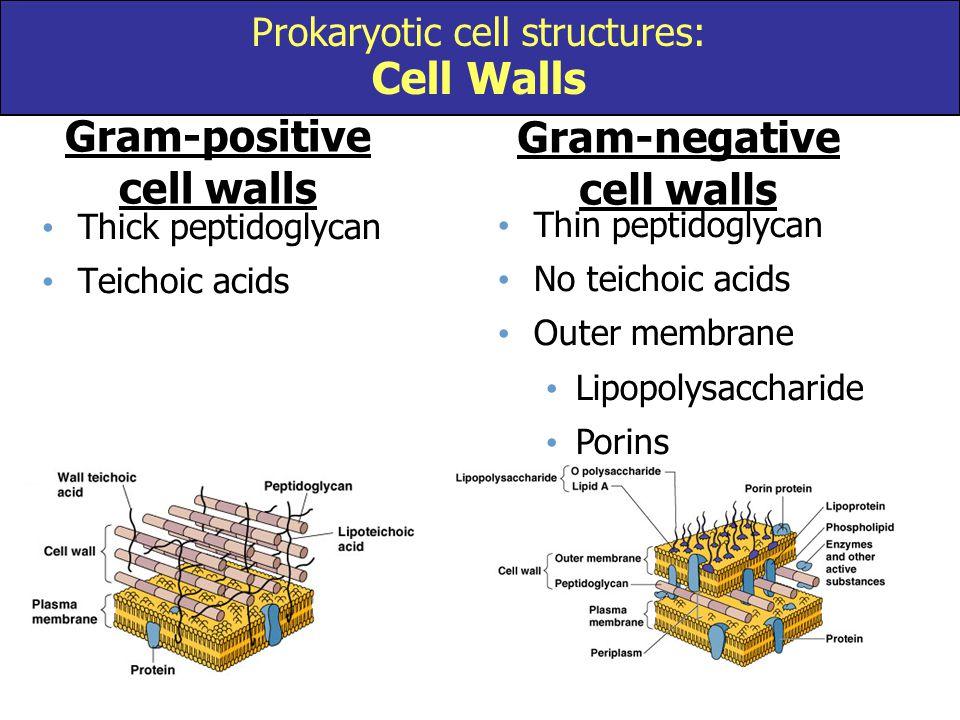 Thick peptidoglycan Teichoic acids Thin peptidoglycan No teichoic acids Outer membrane Lipopolysaccharide Porins Gram-positive cell walls Gram-negativ